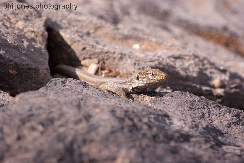 Lizard on Sea Wall
